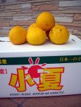 画像1: 【税込・送料無料】 高知県産温室栽培 わけあり 小夏(こなつ) 5k入り 3,800円 (1)
